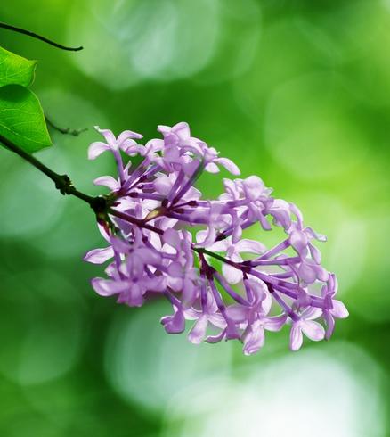 丁香,春夏的使者